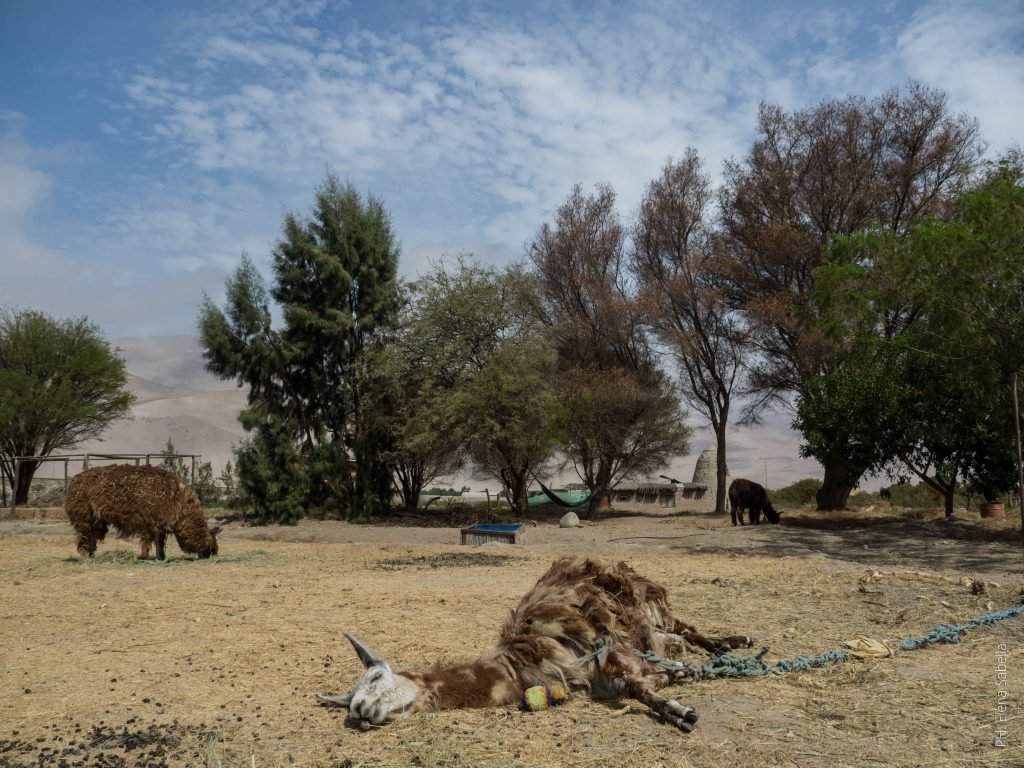 The devotees rescued a lama, an alpaca and a guanaco and kept them in the farm